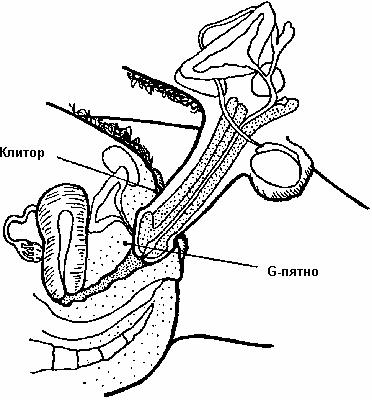размер мужского полового члена Сызрань