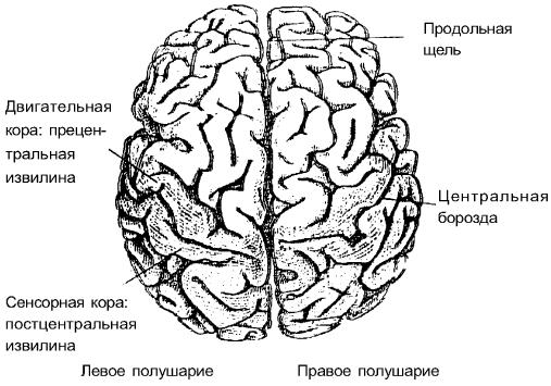 В коре мозга человека 17 млрд