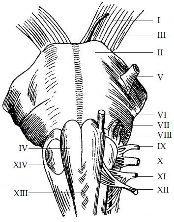 черепно-мозговых нервов