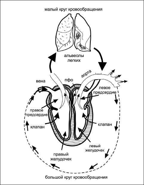 Рис 7. Схема малого и большого кругов кровообращения Чтобы насытить кислородом столь активно меняющуюся среду, как...