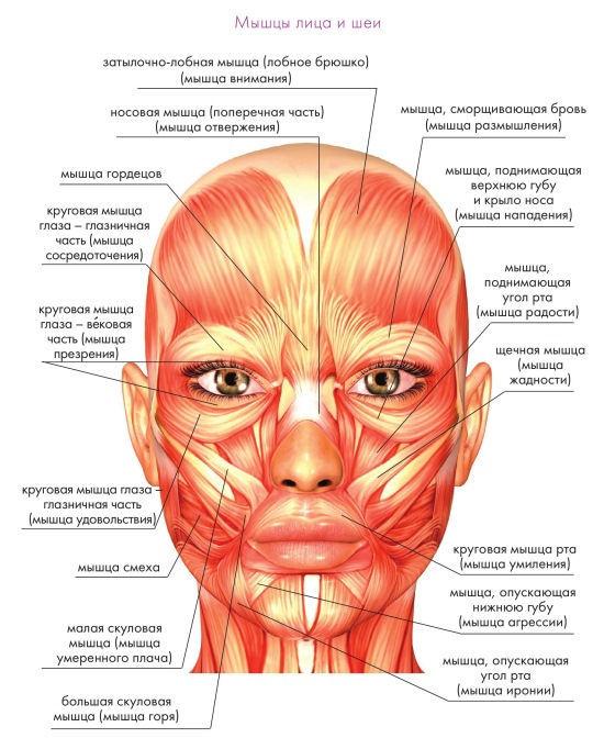 Обычно мышцы – правая и левая
